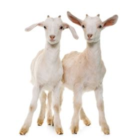 Pair of goats: $100