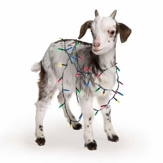 $50 Goat