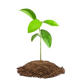 Fruit-tree seedling: $10