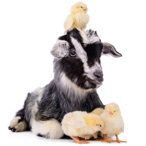 $60 Goat and a flock of chicks
